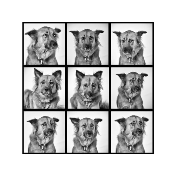 Pet photography dc. Studio portraits of dog nine frames showing different emotions and dog expressions
